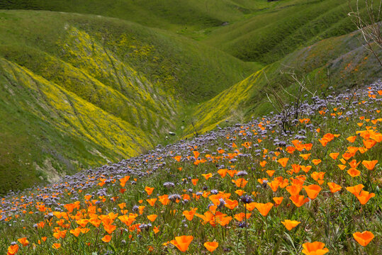 Idyllic California Hillsides Filled with Wildflowers Bloom after
