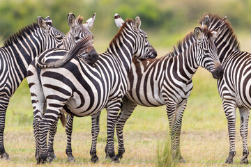 a group of zebras stands motionless in the savannah