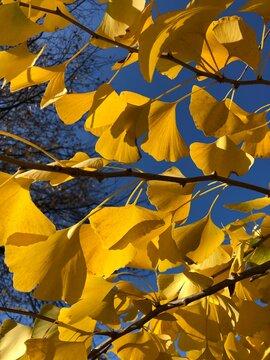 Ginkgo biloba Blätter in gelber Herbstfärbung vor blauem Himmel