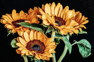 Picturesque sunflowers close-up on a black background
