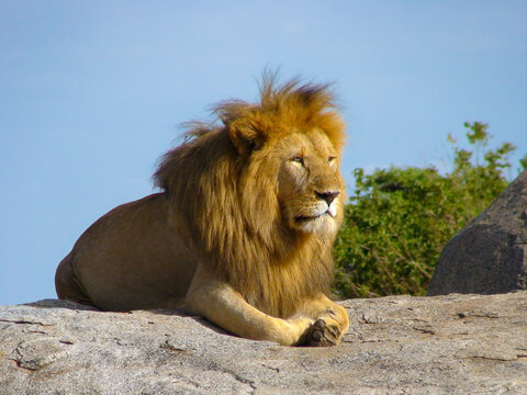 A mighty and formidable lion on a rock in the Serengeti. He has a beautiful mane and looks very confident. A very masculine and very strong appearance.