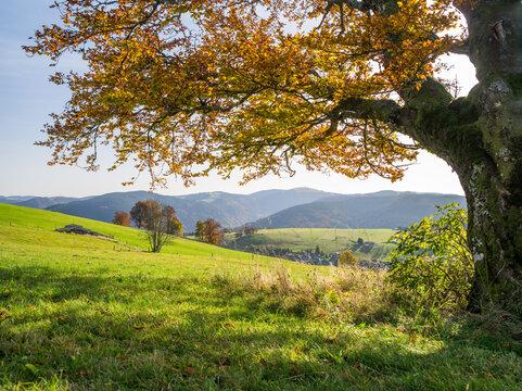Autumn foliage in the Black Forest near Freiburg