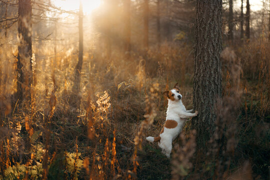 dog in autumn forest. Jack Russell Terrier puts paws on the tree