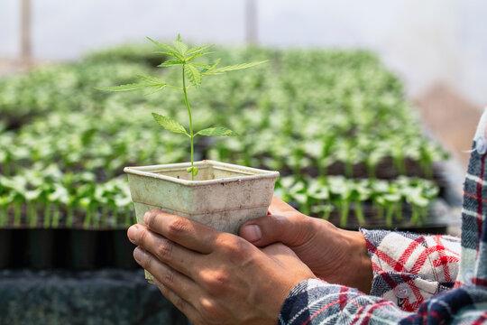 Farmers holding hemp seedlings in greenhouses, Medical marijuana cultivation concept.