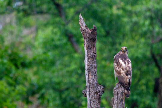 Crested serpent eagle on branch of tree, Spilornis cheela, Bandhavgarh, Madhya Pradesh, India
