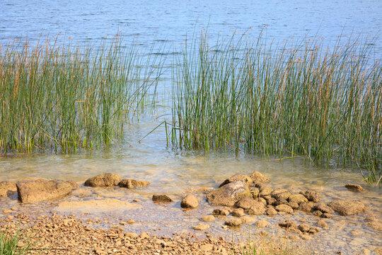 Binsen an einem See, Bayern, Deutschland, Europa