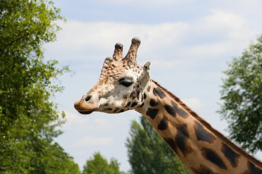 Giraffe head and neck under blue sky.Giraffa is an African artiodactyl mammal, the tallest living terrestrial animal and the largest ruminant.
