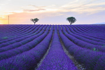 Lavender field sunset landscape in summer, with two trees near Valensole. Provence, France