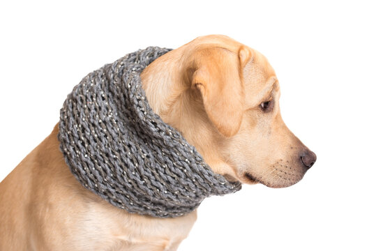 Beauty labrador retriever dog with scarf isolated on white background