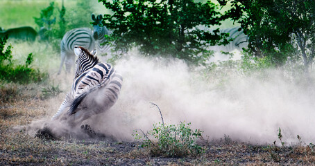zebra throwing up dust