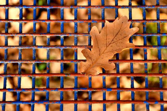 autumnal colored oak leaf on a blue grid of a seat