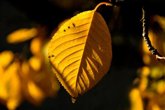 autumnal colored beech leaf in backlit