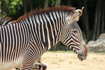 zebra in a zoo in france