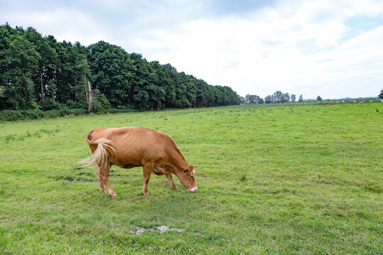 cows grazing at the green fresh meadow in Usedom