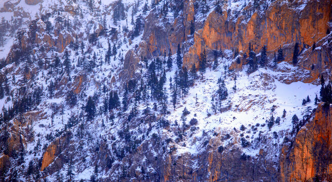 Snow Covered  Cliff and pine trees - Cliffs and pine trees on the snowy mountain