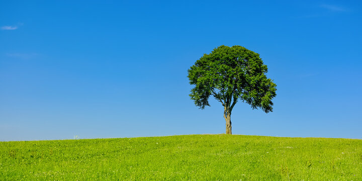 Single Tree In Rural Area - Single tree on a hill in a rural area in summer.