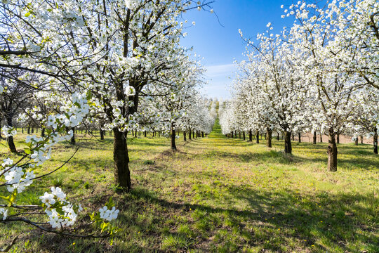 flowering cherry orchard near Cejkovice, Southern Moravia, Czech Republic