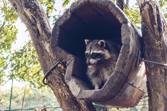 cute raccoon sitting inside wooden house
