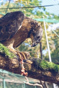honey-buzzard eating fresh chicken meat