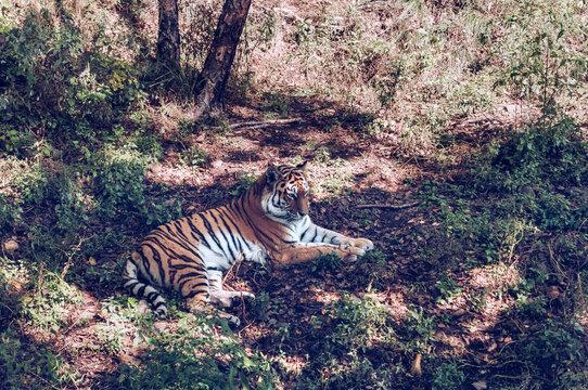 lying on the ground Amur tiger
