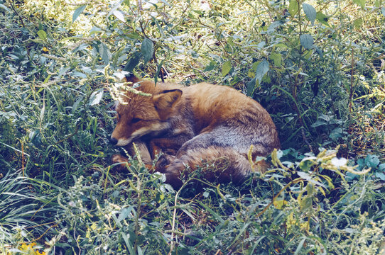 resting on the grass red fox