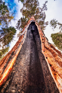 Cracked Giant Sequoia in the Sequoia National Park, California