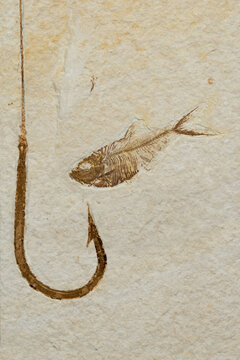 Knightia eocaena, a prehistoric type of herring is the state fossil of Wyoming. This one came from the Green River Formation in Wyoming.