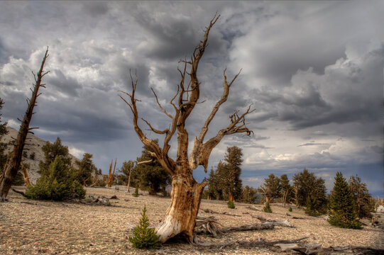 Bristlecone pine trees in forest against storm clouds