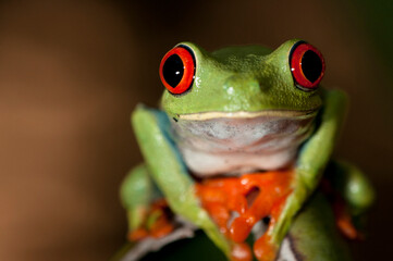 Close up of red eyed tree frog