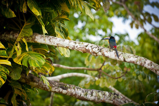 Close up of collared aracari perching on branch