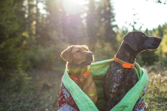 View of dogs snuggled under a colorful quilt in the morning forest