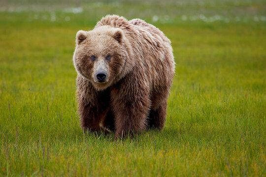 Portrait of Alaska Peninsula brown bear walking on grassy landscape