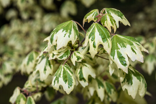 Leaves of Variegated Hedge or Field Maple (Acer campestre 'Carnival')