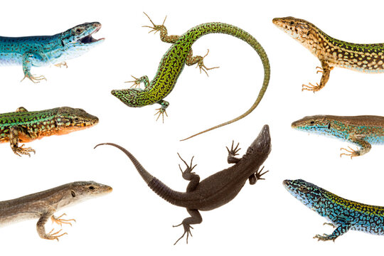Close up of ibiza wall lizards on white background