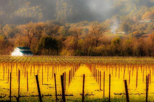 View of old vine in vineyard in Dry Creek Valley