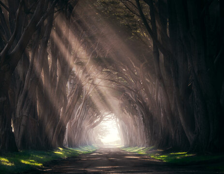 Sun rays shining through the cypress tree tunnel at Point Reyes in California.