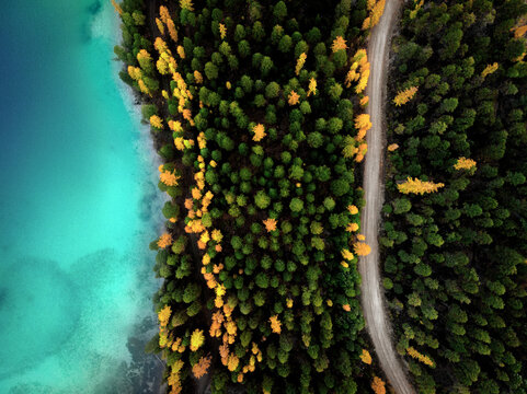 A top down image of bright yellow larch trees, a road & beautiful, clear, turquoise water. A fall scene.