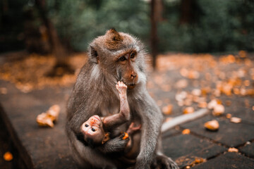 Mother Balinese long tailed monkey holding her baby