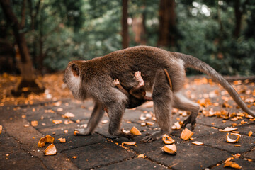 Mother long tailed monkey walking with her baby