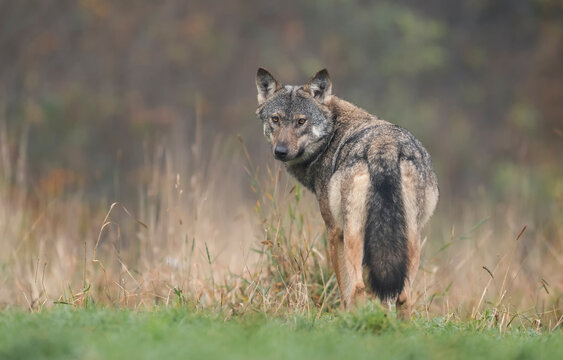 Grey wolf in natural scenery ( Canis lupus )