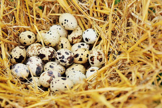 quail eggs in the hay close-up on a poultry farm. Breeding of quails.copy space