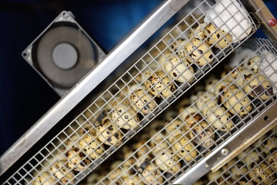Growing quails on a poultry farm. Many quail eggs close-up in a special box incubator.