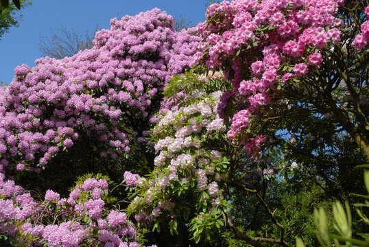 Fantastic display of different rhododendrons  flowering in Spring
