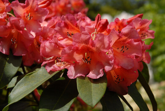 Rhododendron flowers in garden, late spring