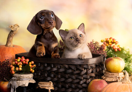 cat and dog, dachshund puppy chocolate color and Burmese kitten