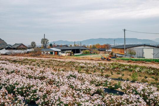 Seoak-dong old village with flower field in Gyeongju, Korea