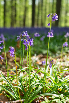 Selective focus shot of a natural carpet of bluebell flowers in Hallerbos, Belgium