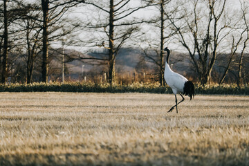 Red-crowned crane bird from Kushiro, Hokkaido in winter season.