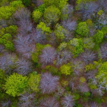Beech forest in springtime, Irias forest, San Pedro de Soba, Alto Ason, Soba Valley, Cantabria, Spain, Europe