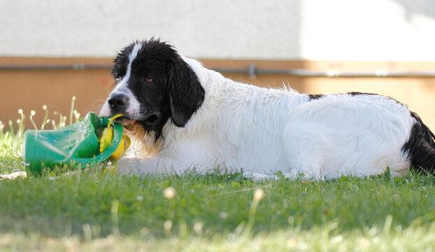 Little Landseer dog is very playful